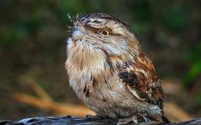 Picture nature, bird, Tawny Frogmouth, Smoky legoscia
