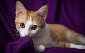 Picture cat, eyes, look, red, purple background, Wallpaper from lolita777, expressive, zlatovlasaya