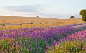 Picture lavender, countryside, farm, lavender field