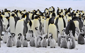 Picture penguins, small, large, family