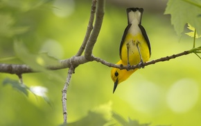 Picture branches, foliage, tail, bird, yellow, ass