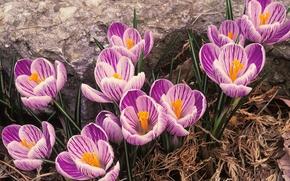 Picture flowers, nature, petals, Tiger crocuses