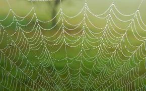 Picture drops, macro, Rosa, web