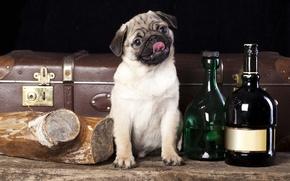Picture dog, pug, suitcase, bottle, log