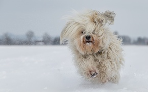 Picture dog, The Havanese, shaggy, running, snow, winter