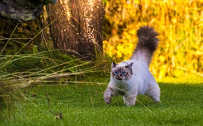 Picture cat, walk, fluffy tail, Burmese