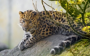 Picture cat, branches, stone, moss, leopard, cub, kitty, Amur, ©Tambako The Jaguar