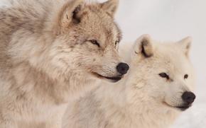Picture predators, wolves, nurses