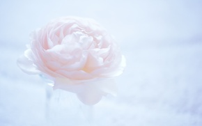 Picture flower, macro, background, pink, light, Camellia