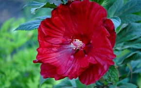 Picture macro, hibiscus, Chinese rose