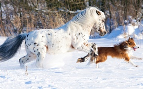 Picture white, dog, snow, horse, cold, running