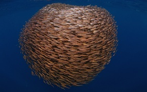 Picture sea, fish, pack, underwater world, cant