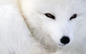 Picture animals, eyes, look, wool, nose, muzzle, Fox, fur, Fox, animal, polar Fox