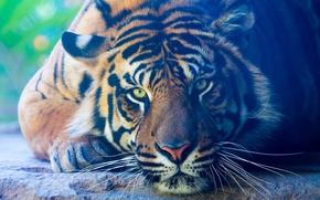 Picture look, tiger, animal, predator, paws, lies, color