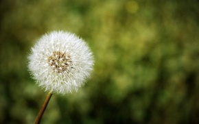 Picture flower, nature, dandelion