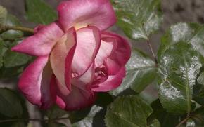 Picture leaves, Wallpaper, rose, petals