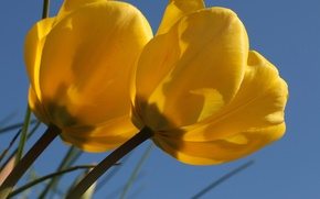 Picture macro, tulips, Duo, buds, yellow tulips