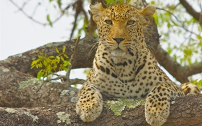 Wallpaper leopard, look, on the tree, wild cat