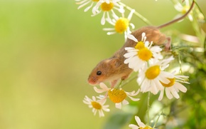 Picture summer, nature, Harvest Mouse
