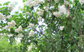 Picture white, blooms, lilac