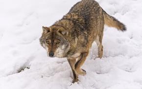 Picture look, snow, wolf, ©Tambako The Jaguar