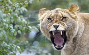 Picture language, predator, mouth, fangs, lioness