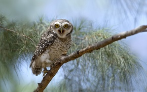 Picture eyes, owl, branch, wildlife
