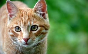 Picture cat, eyes, cat, look, cats, red, attention
