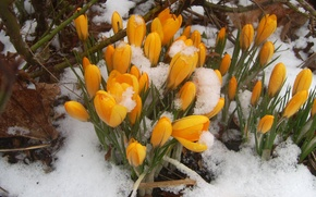 Picture yellow, spring, snowdrops