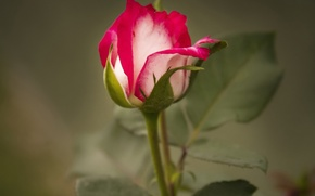 Picture macro, rose, Bud