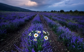 Picture field, flowers, chamomile, lavender