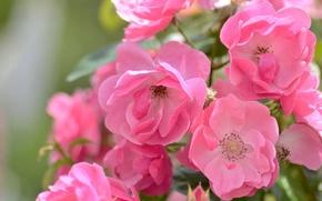 Wallpaper macro, roses, pink