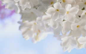 Picture white, macro, flowers, tenderness, spring, lilac