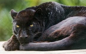 Wallpaper cat, black, Panther, leopard, ©Tambako The Jaguar