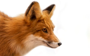 Picture wool, muzzle, Fox, white background, red