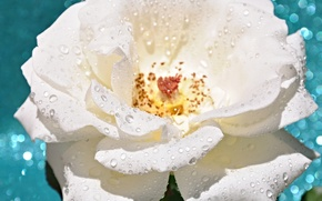 Picture flower, water, drops, Rosa, rose, petals