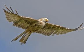 Wallpaper predatory, flight, bird