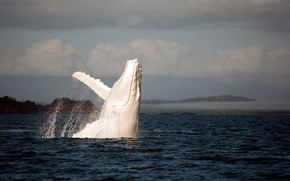 Wallpaper white, humpback, white, whale, the ocean, ocean, albino, kit, Humpback, Jenny Dean, Albino