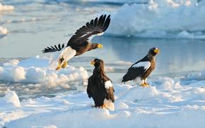 Picture winter, snow, birds, predators, Japan, Hokkaido, Japan, hawk, Hokkaido, Steller's sea eagle