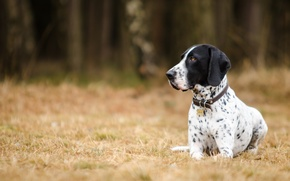 Picture stay, dog, pointer