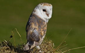 Picture owl, bird, the barn owl