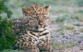 Picture cat, kitty, spruce, the Amur leopard