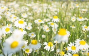 Picture field, flowers, chamomile, spring