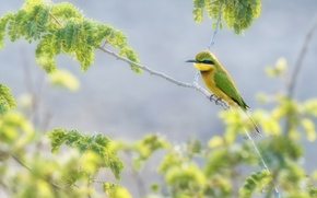 Picture leaves, bird, branch, Golden bee-eater, peeled