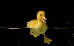 Picture water, birds, nature, black, duck, duck