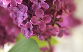 Picture purple, spring, lilac