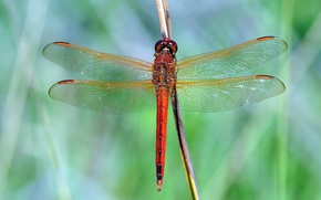 Picture macro, dragonfly, insect, red, green background, stem, Wallpaper from lolita777
