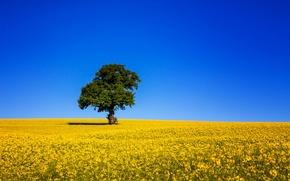 Picture field, the sky, tree, blue, rape
