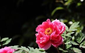 Picture leaves, Bush, petals, garden