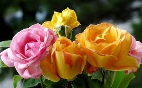 Picture macro, rose, Bush, bouquet, petals